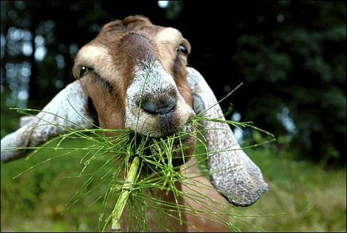 500px Goats - Progressive Control of Foot-and-Mouth Disease in Pakistan