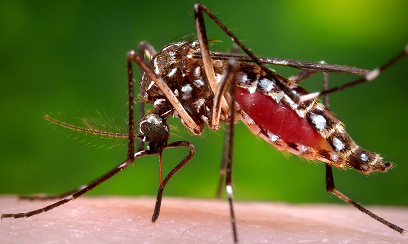 Dengue fever mosquito - Dengue fever – An ongoing global threat