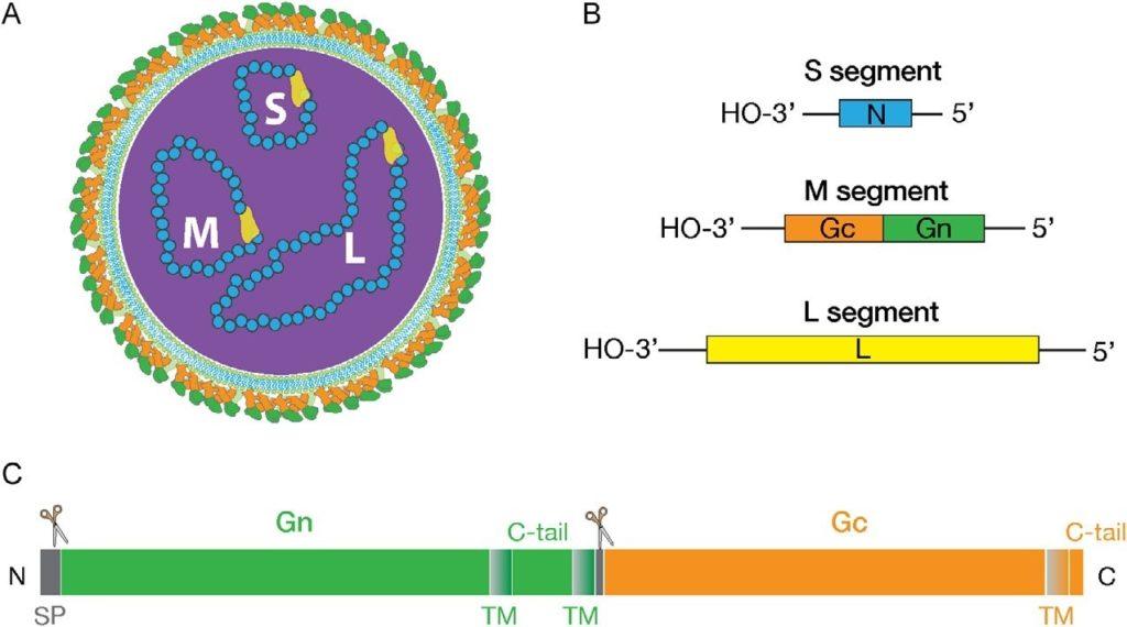 Hanta virus main image 1024x570 - Hantaviruses: Here is what we need to know to avoid infections