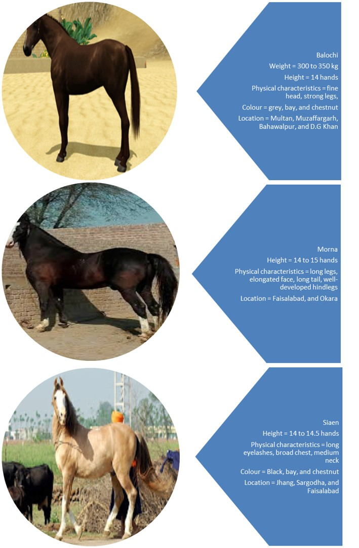 Horse Breeds in Pakistan 2 - Interesting facts about horses that you may want to know