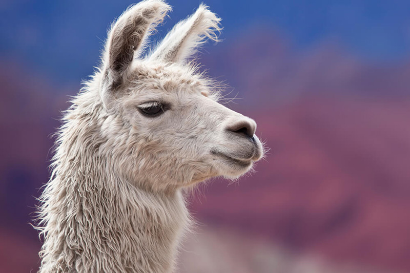 First image edited - Are Llama Antibodies Key to Finding a COVID-19 Treatment?